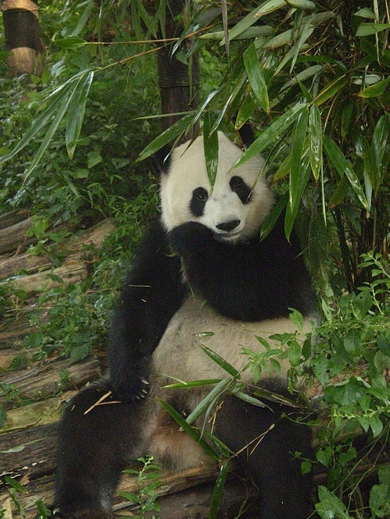 Pandas! - Chengdu, China