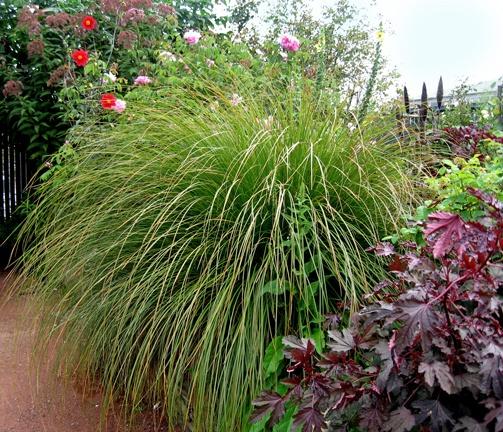"Carex virgata ""Swamp Sedge"""