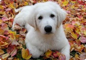 Puppies in leaves are great, a Kuvasz puppy in leaves is even better. Photo courtesy KCA.