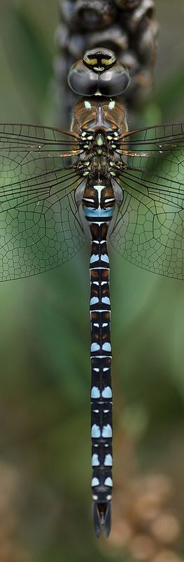Migrant hawker dragonfly panorama | by Lord V