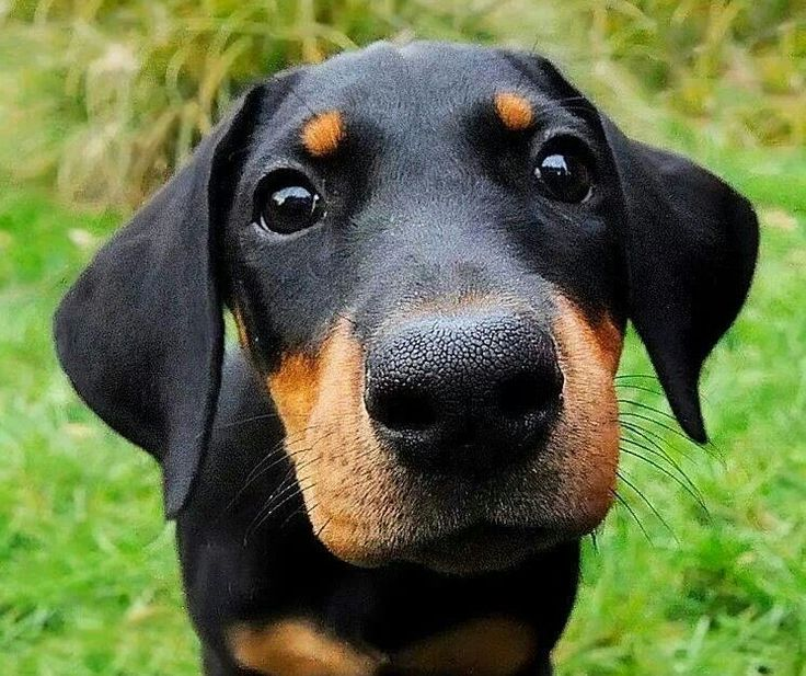 Doberman Dog Breeders, Dogs & Puppies on Dog Breeders Gallery South Africa