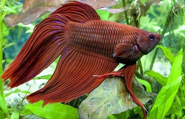 Ikan Cupang Termasuk Jenis Ikan Hias Yang Bisa Dibilang Paling Banyak Pemeliharanya Di Indonesia Mulai Dari Anak Kecil Hingga Orang Dew Ikan Cupang Ikan Betta