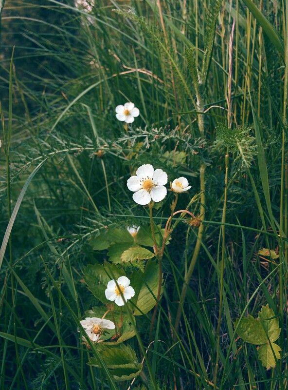 Ahomansikka (Fragaria vesca) Finland