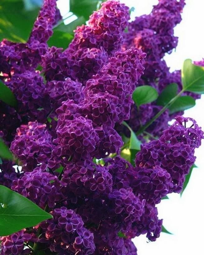 Purple Lilacs!  Beautiful!  I love Them!  :)