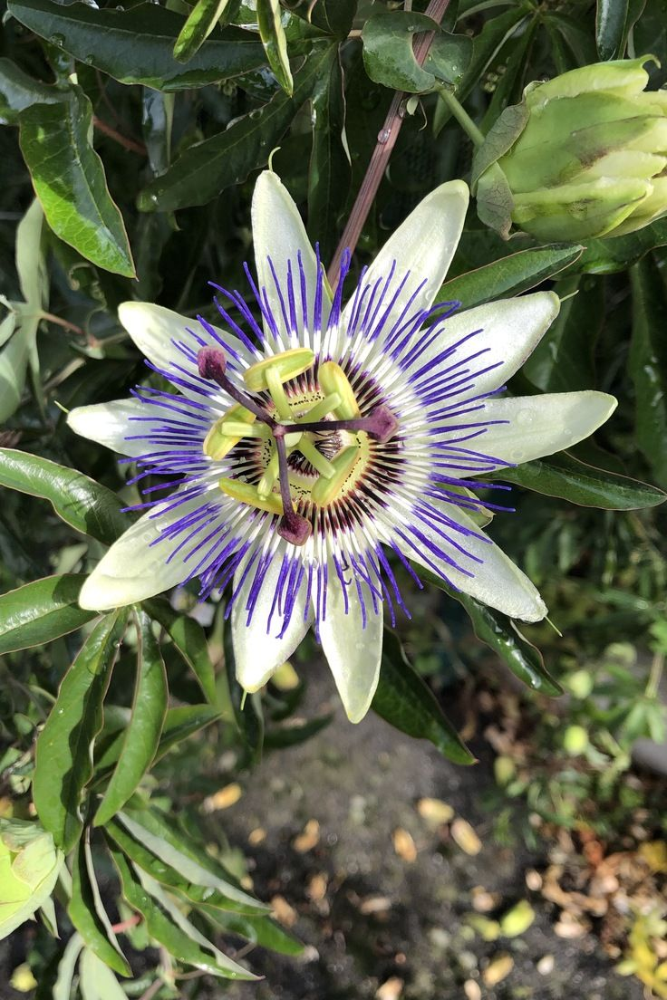 La Passiflore Passiflore Plante Grimpante Jardins