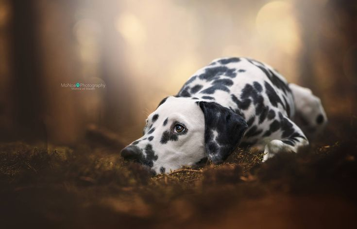 #dalmatier #dog #photography #breed #dream #dogs #outside #lovely #eyes