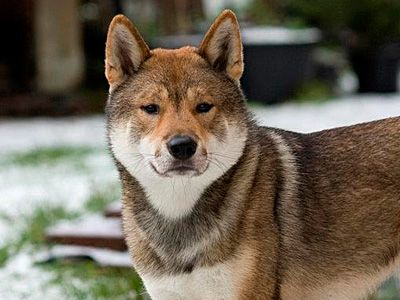 Shikoku dog is a medium dog breed, Temperament: Cautious, Agile, Brave, Energetic, Intelligent, Loyal, Origin: Japan.