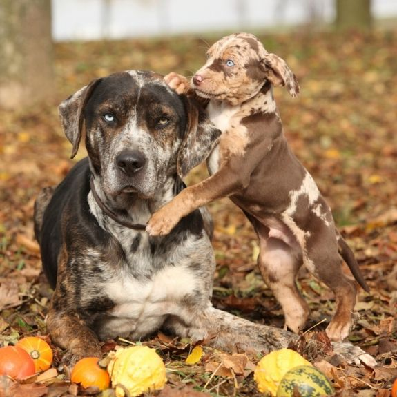 Catahoula Leopard Dogs - that puppy's camouflage is super awesome! Love this breed.