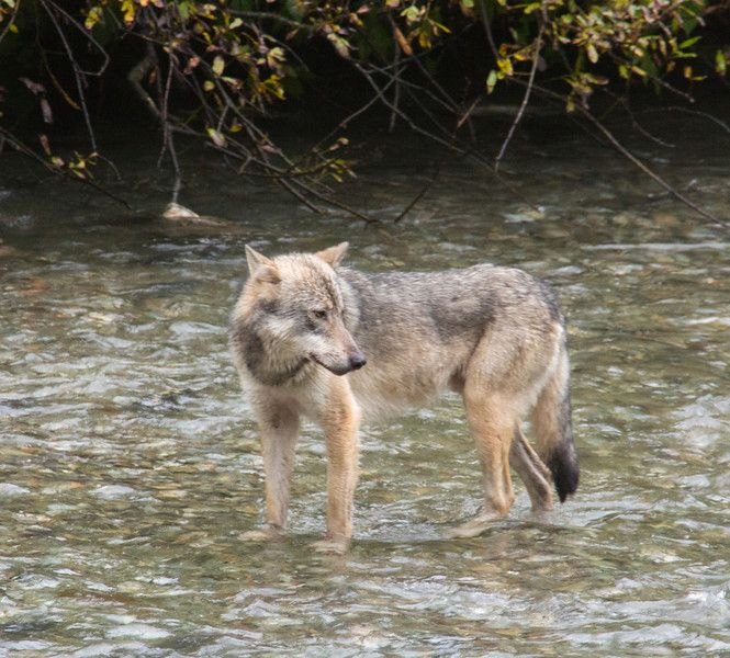 Is wildlife watching on your bucket list. Visit Fish Creek Wildlife Viewing area near Hyder, Alaska. You might see a wolf walking up the creek looking for dinner.