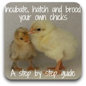 A homemade incubator to hatch chicken eggs : money saver or time waster?