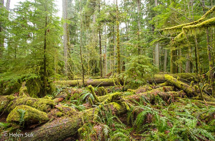 cathedral grove, moss covered trees, rainforest, vancouver island