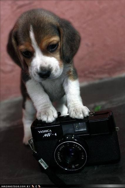 78+ images about Beagles...Beautiful Blessings! on ...