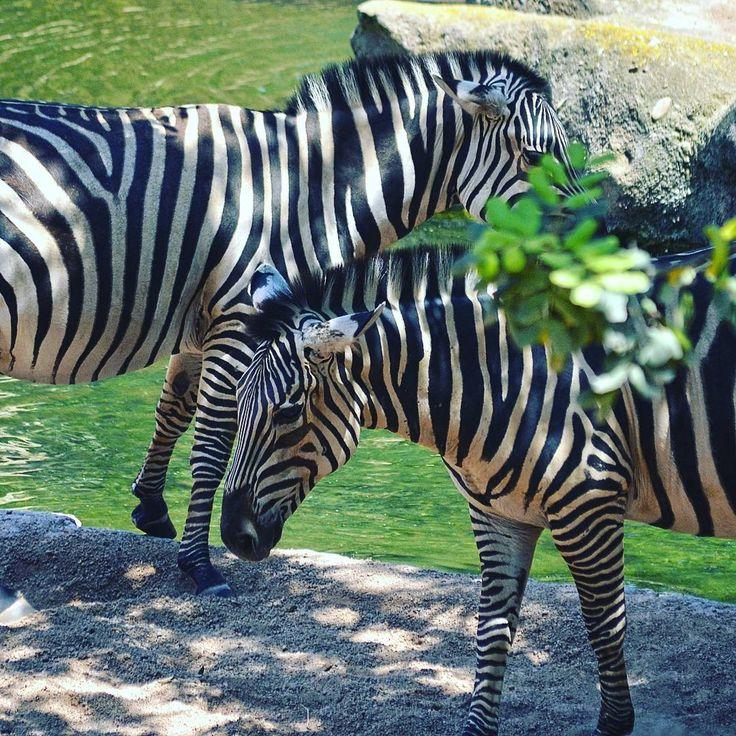 #BuenosDias ¡Os recordamos que abrimos todos los días del año! En junio podéis disfrutar #BIOPARC #Valencia de 10h a 20h y en julio ampliamos el horario hasta las 21h 😉 ¡Prepara tu visita! LINK EN BIO | Foto: #Cebras junto al río en la Sabana africana de #BioparcValencia | #Zebras #ExperienciasBioparc #felizdomingo #igersValencia #igersBioparc #Bioparco #Биопарк #Валенсии #travelphotography #photoanimals #holidays #summer2017 #travel #vacaciones