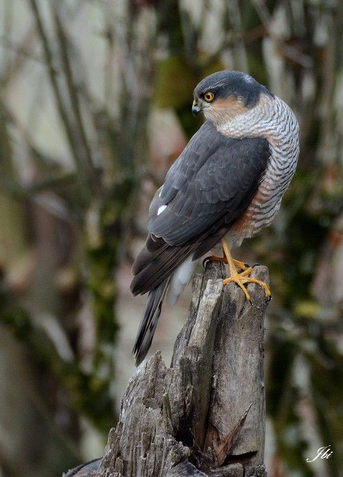 Epervier d'Europe   (Accipiter nisus)