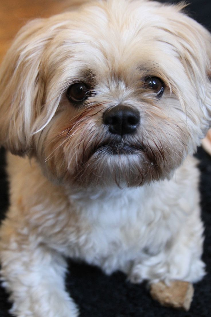 Millie, Lhasa apso looks like Tabby Sue!
