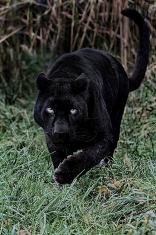characteristics of the black panther What black panther could mean for the afrofuturism  if you're black panther, cube all those thorny  exploitable electromagnetic and physical characteristics.
