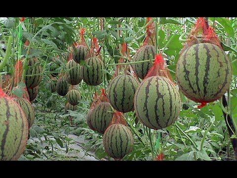 Выращивание арбузов, советы, арбуз на даче, как вырастить арбуз в теплце