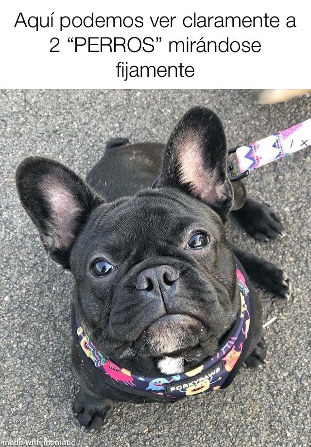 Pin By Katia Henrriquez On Memes French Bulldog Dog French Dogs French Bulldog Funny