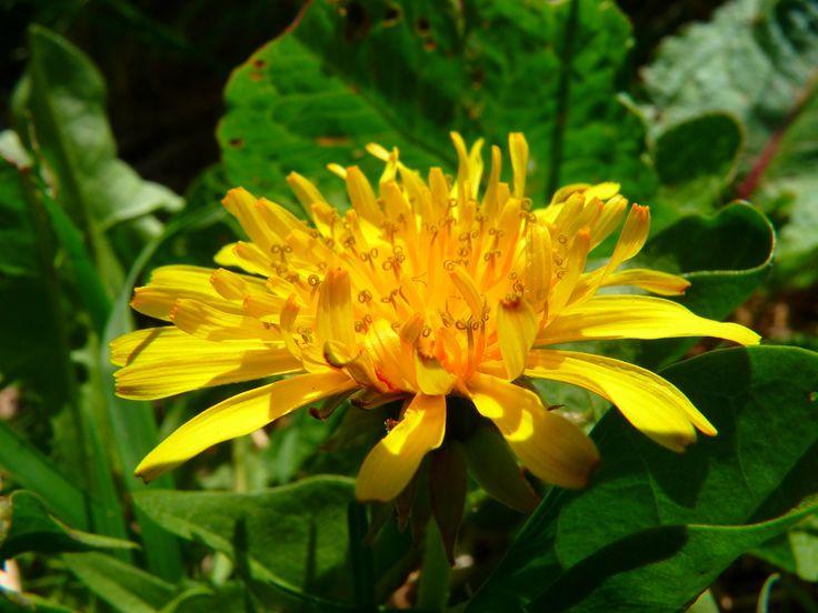 Krásné žluté květy, které máme spojené s přicházejícím jarem, lákají k přičichnutí a upletení věnečků. Věděli jste, že mají i léčivé schopnosti?