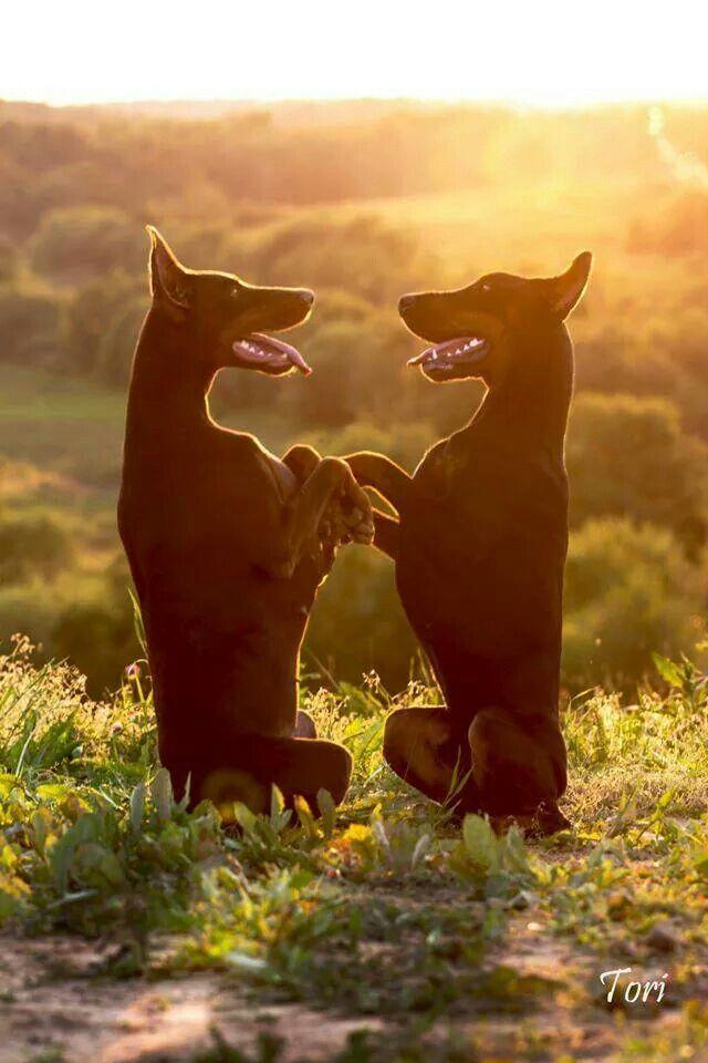 Doberman dogs awww ! Sooooo sweeeeeeet!!!!:
