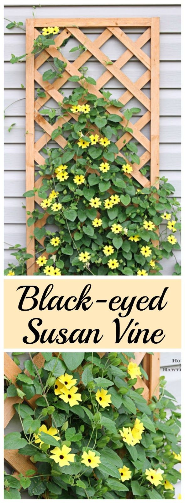 Black-eyed Susan vine - you must plant one of these in your garden this year - it's the vine that keeps going strong all summer long!