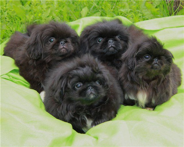 "Click visit site and Check out Cool ""Pekingeses"" T-shirts. This website is…"