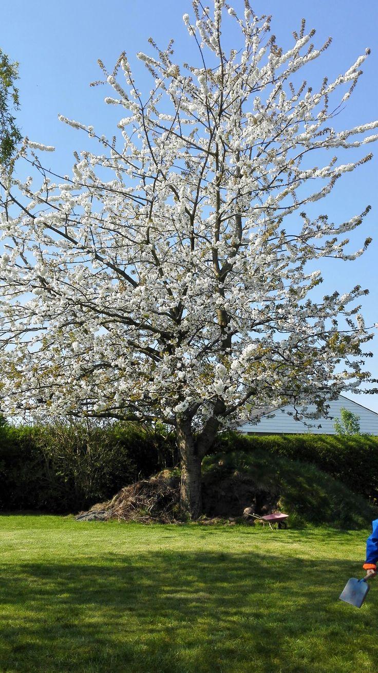 Moreltræet