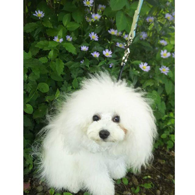 ミヤコワスレと煌蘭💜🌿 紫色の野菊は 白いコートの煌蘭に似合うね✨ キョトンとしたお目目で👀✨ ハイポーズ🐶⤴ #ボロニーズ#ビション#*トイプードルシルバー#トイプードル#犬#多頭飼い#愛犬#都忘れ#野菊#可愛い#いぬすたぐらむ#花#紫色の花#bolognesedog#bichon#toypoodlesilver#toypoodledogs#dogstagrams#doglove#doglove#doglife#kawaii#look#flowers#violetflower#eyes