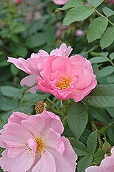 Click to view full-size photo of Applejack Rose (Rosa 'Applejack') at Garden Supply Company