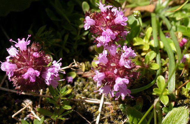 Mateřídouška Obecná (Thymus serpyllum)