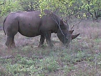 rhino in Balule