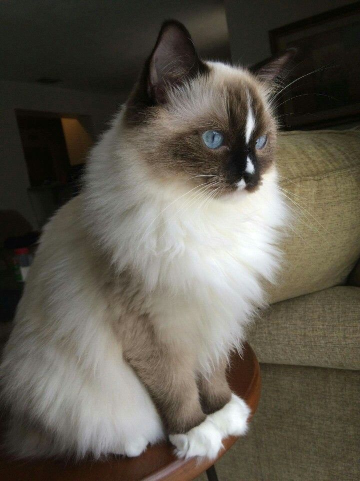 Luna. Seal with blaze Ragdoll. 9 months old