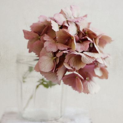 love this dusky pink hydrangea!