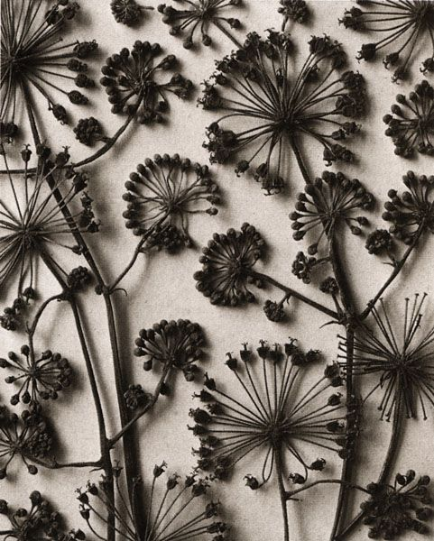 Karl Blossfeldt Fine Art