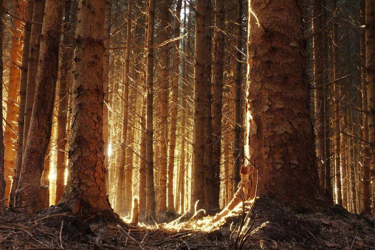 Dawn Pine, Fir Trees