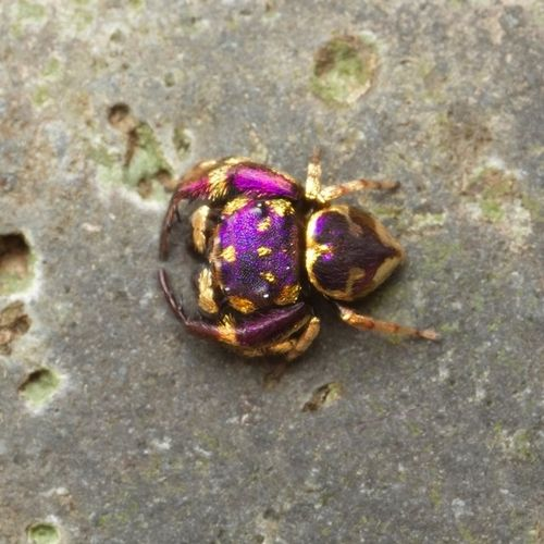Shockingly Beautiful Purple and Gold Species of Jumping Spider Found in Thailand! Simaetha sp,