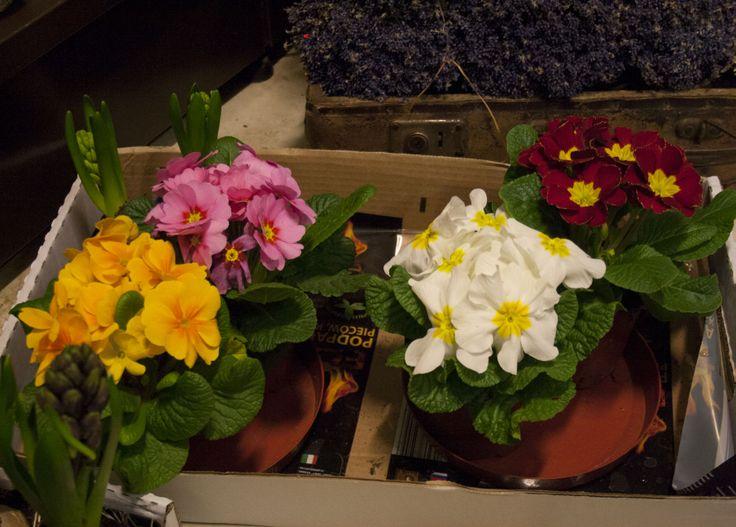 Kwitnące kwiatki w doniczce w radosnych kolorach :)  #babcia #dziadek