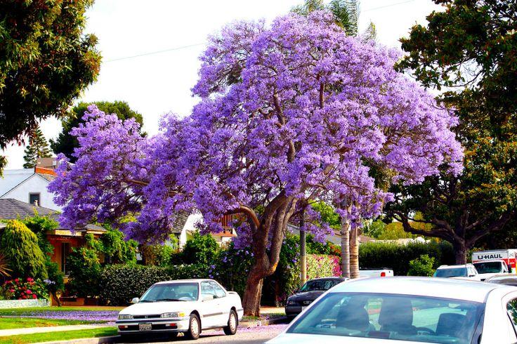 Jacaranda Bäume <3