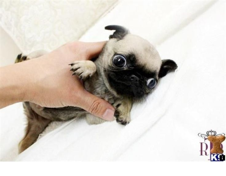 Discover More About Miniature Pug Simply Click Here To Get More