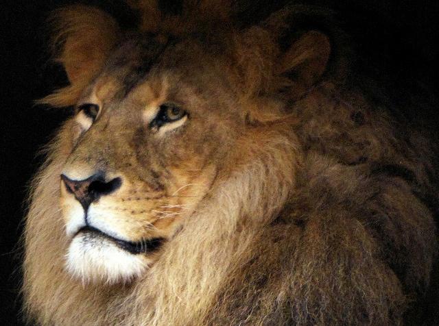 lion: Lion, Photo