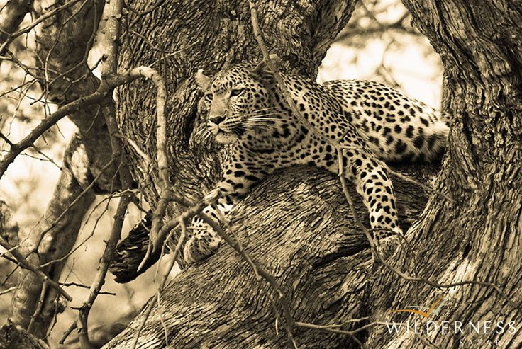 Seba Camp - if you are lucky, you may see one of the more elusive predators in the area. #Safari #Africa #Botswana #WildernessSafaris