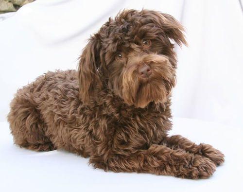Pet Lovers Dream - Most Amazing Dog Crossbreeds