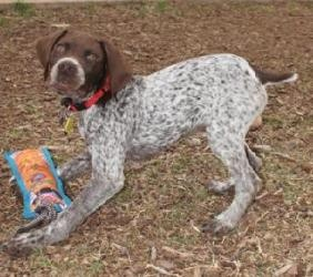 Noble Wichita Falls Is An Adoptable German Shorthaired Pointer Dog In Texas Tx Noble Is German Shorthaired Pointer Dog I Love Dogs Sweet Animals