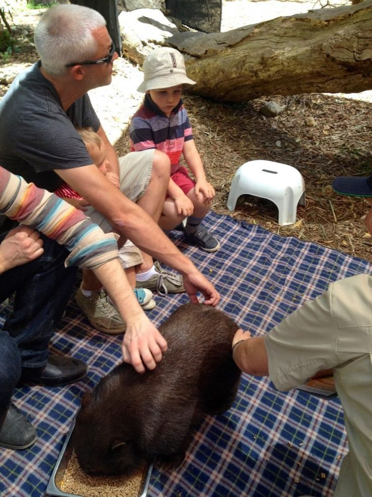 HOT: Wombat Pat and Play Wild Encounter, Healesville Sanctuary, Badger Creek Rd, Healesville http://tothotornot.com/2016/09/wombat-pat-and-play-healesville-sanctuary/
