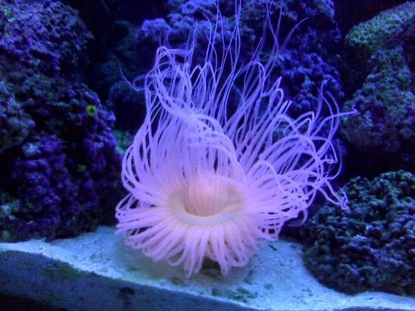 17 best images about black ice clownfish on pinterest for Pink saltwater fish