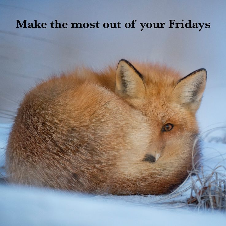 Image result for friday fox images