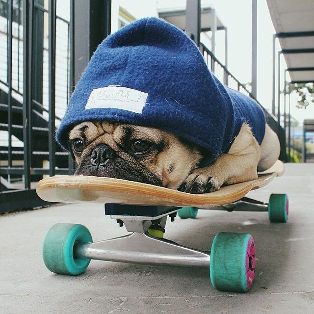 He was a skater pug, she said see you later pug!  For more pictures of the adventures of Doug the Pug FOLLOW