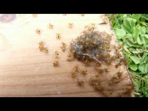 Babyspinnen - YouTube