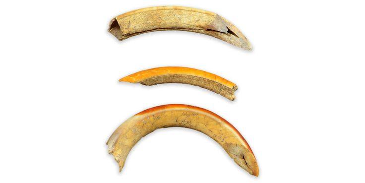 Dents de castorMCC/LRAQ, photo: Aurélie DesgensPlace-Royale. Occupation amérindienneCent vingt-deux incisives de castor ont été mises au jour à Place-Royale. Elles ont dû être utilisées pour travailler des matières relativement tendres, comme le bois. Les visiteurs ancestraux de la pointe de Québec ont dans leurs bagages divers outils pour transformer l'andouiller, les os et les dents.