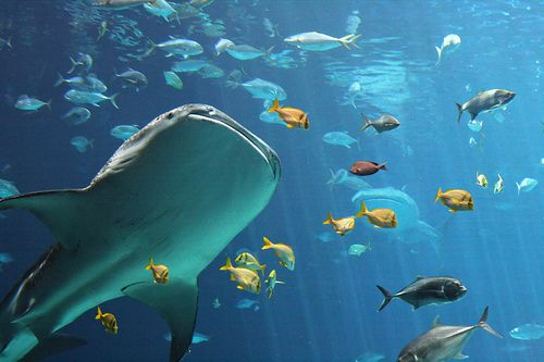 Whale Sharks by ElDave, via Flickr | I want lots of pictures of whales in my dorm room. They're graceful to be so large. Familiar story.